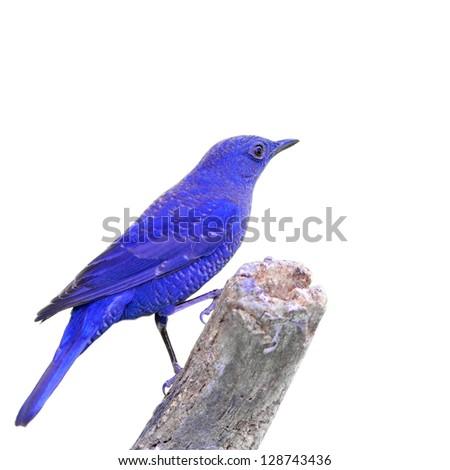 Blue Bird on white background - stock photo