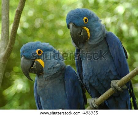 Blue Birds - stock photo
