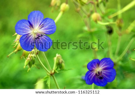 Blue blossom on a green meadow - stock photo