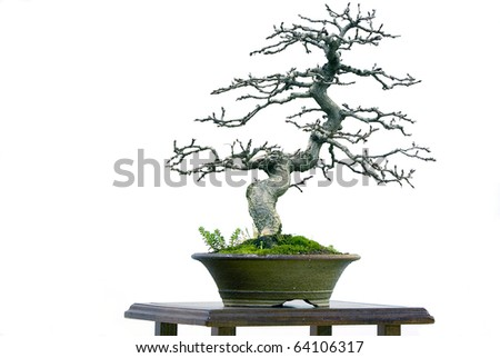 Blue bonsai on whire - toned photo - stock photo