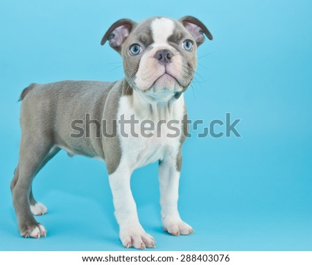 Blue Boston terrier puppy standing on a blue background, with copy space.