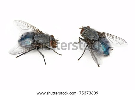 Blue Bottle Fly (female, Calliphora vomitoria, 2 positions, isolated on white) - stock photo