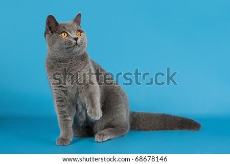 blue british female cat on light blue background - stock photo