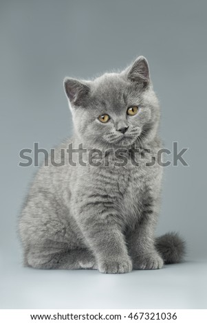 blue British kitten on grey background