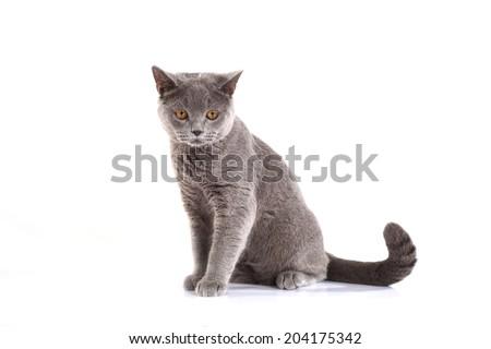 Blue British Shorthair cat on white background. - stock photo