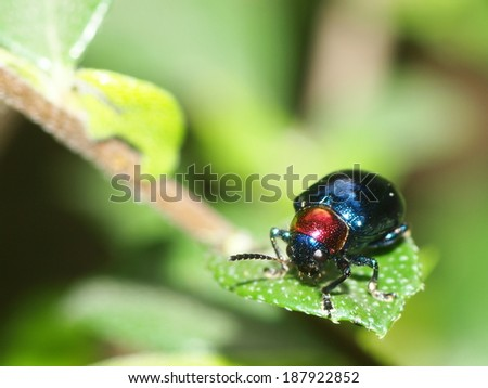 blue bug, tropical beetles with red dot on his head creeping under sunlight in summer on green area in nature with natural bokeh background, Thailand