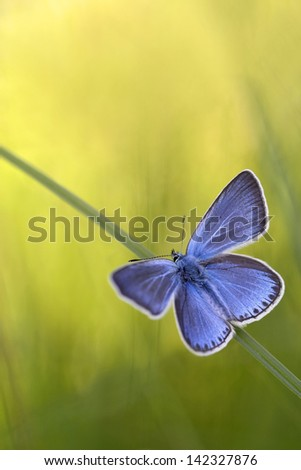 blue butterflies - Common Blue (Polyomathus icarus) male - stock photo
