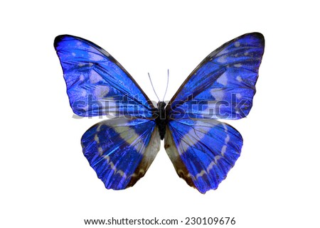 blue butterfly isolated, set of realistic tropical butterfly and insect, zoology,wild ,entomology, one alive exotic butterfly with beautiful wing collection ,insect animal stuff icon,bug life - stock photo