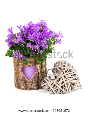 blue campanula flowers for Valentine's Day with wooden heart, on white background - stock photo