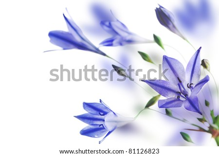 blue campanulas isolated over white, border - stock photo