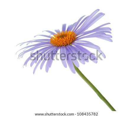 Blue chamomile flower. Isolated on white background - stock photo