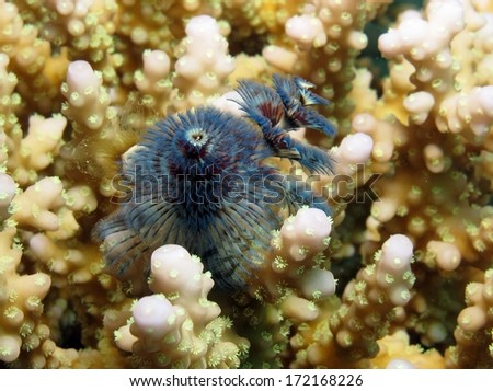 Blue Christmas tree worm inside acropora coral - stock photo