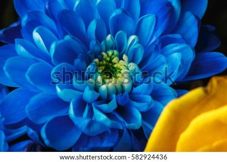 Blue chrysanthemum as background. The blue chrysanthemum flower, close up, macro. White flower close up. beautiful bouquet with chrysanthemum, background.
