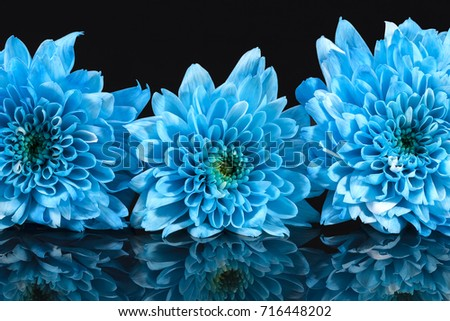 Blue chrysanthemum flowers on black background, reflection,  close up