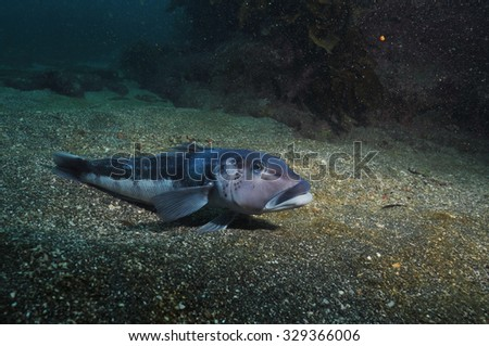 Blue cod Parapercis colias in the marine reserve of Goat Island near leigh new Zealand. - stock photo