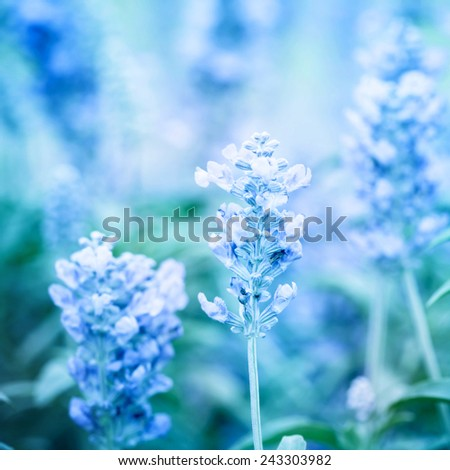 blue color tone of close up Sage plant (lat. Salvia Officinalis)  - stock photo