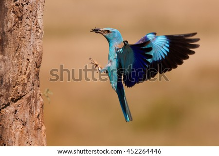 Blue colored bird, European Roller, Coracias garrulus, female returning to nest in trunk with insect in its beak against abstract orange background. Hungary. - stock photo