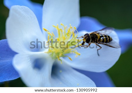 Blue Columbine wildflower close up with a bee pollinating the flower