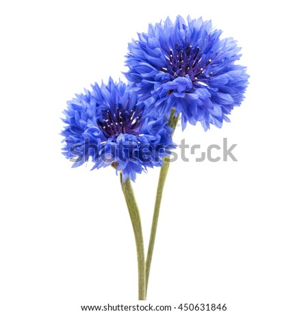 Blue Cornflower Herb or bachelor button flower head isolated on white background cutout - stock photo