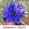 Blue cornflower or bachelor button - stock photo