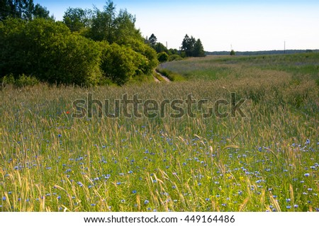 Blue cornflowers growing on agricultural field planted with cereal ears.