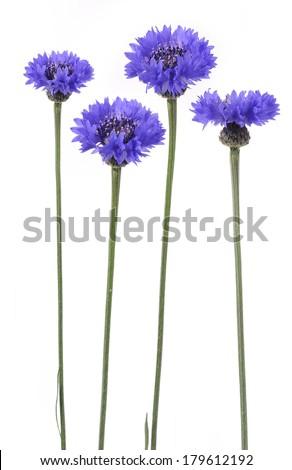 blue cornflowers on white background  - stock photo
