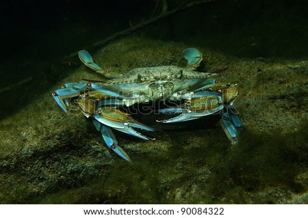 Blue crab, Crystal Springs, Florida - stock photo