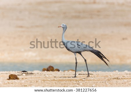 Blue Crane walking in Etosha National Park in Namibia - stock photo