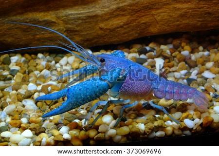 Blue Crayfish in Freshwater Aquarium  - stock photo