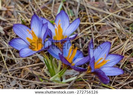 blue crocus bush in a dry grass - stock photo