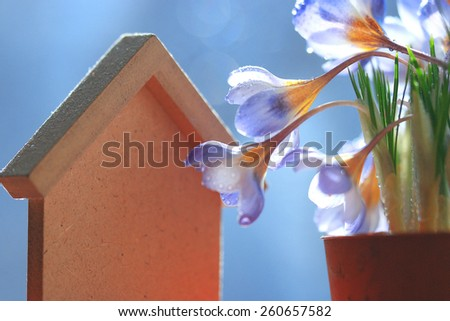 blue crocus flowers in a pot house - stock photo