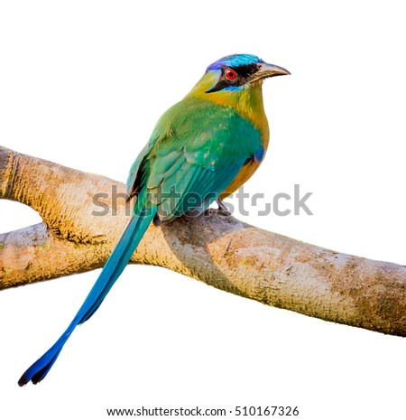 blue crowned motmot with white isolated background