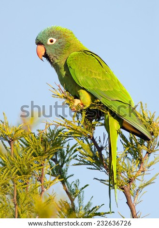 Blue-crowned Parakeet (Thectocercus acuticaudatus) perched on a branch. Patagonia, Argentina, South America. - stock photo