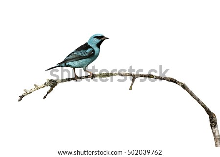 Blue dacnis, Dacnis cayana, single male on branch, Brazil