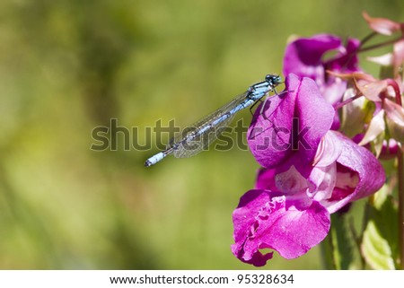 Blue Damselfly perched on a pink flower