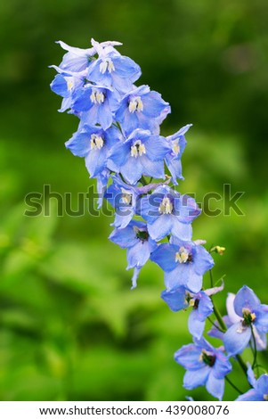 Blue delphinium growing outdoors over green blurry background - stock photo
