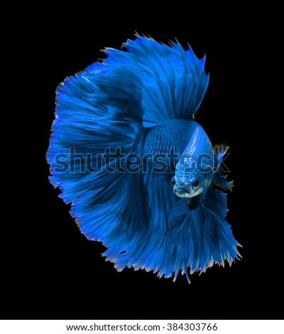 Blue dragon siamese fighting fish, betta fish isolated on black background.  - stock photo