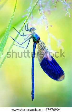 Blue Dragonfly in earley morning - stock photo