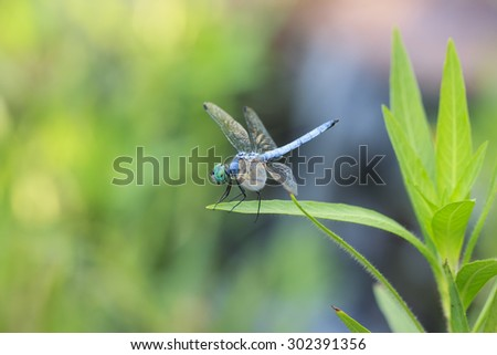 Blue dragonfly on green water plants leaves with green bokeh background