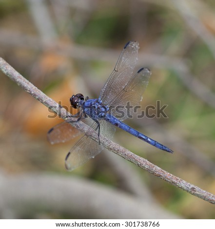 Blue dragonfly that is sitting on a stick looking for bugs - stock photo