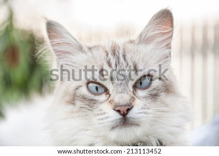 blue eyed cat portrait close up, shallow DOF - stock photo