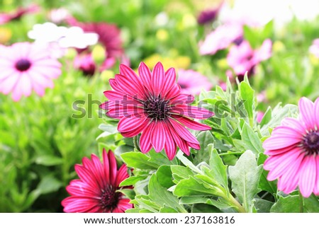 Blue-eyed Daisy,African Daisy,Cape Daisy,Spoon Daisy,red with purple African Daisy flowers in full bloom in garden  - stock photo