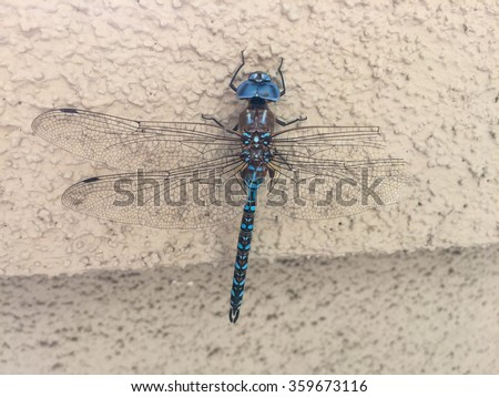 Blue-eyed darner (Aeshna multicolor) is a dragonfly of the family Aeshnidae. - stock photo