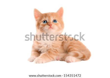 Blue eyed ginger tabby kitten  on a white background - stock photo