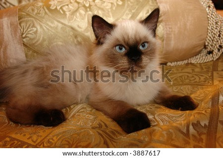 Blue eyed seal point himalayan kitten on gold background - stock photo