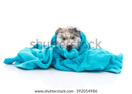 Blue eyes siberian husky puppy after bath is covered with a blue towel, isolated on white background - stock photo