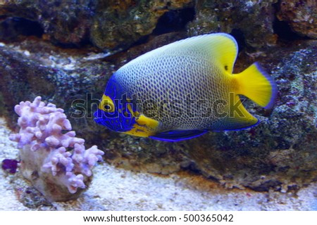 Blue-face Angelfish (Pomacanthus xanthometopon). Also known as Yellow-mask Angelfish