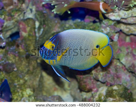 Blue faced angelfish, Pomacanthus xanthometopon, in transition between juvenile and adult colors