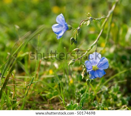 Blue Flax. a blue  field flower. Close up. very shallow depth of field - stock photo