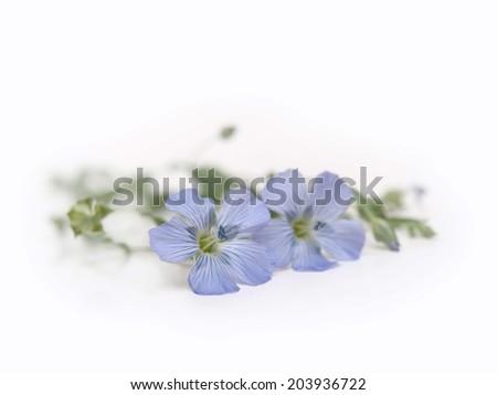 Blue Flax Flower - stock photo